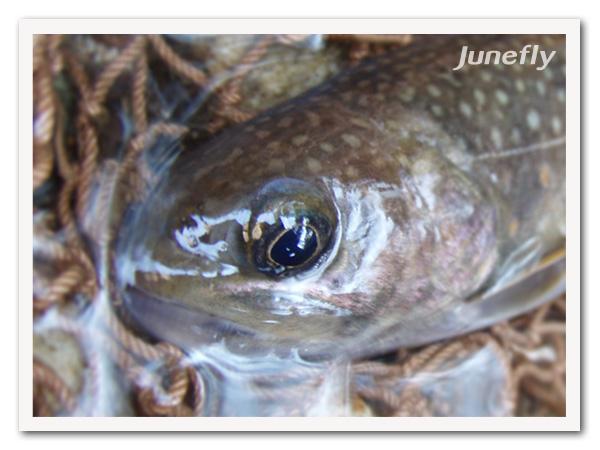 Facefish_B0424c.jpg