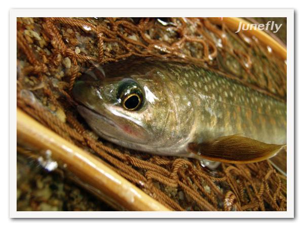Facefish_B0701b.jpg